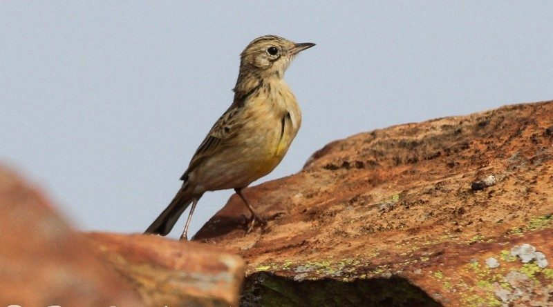 Yellow-breasted Pipit (Suikerbosrand)