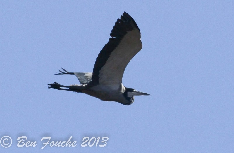 Black-headed Heron, Swartkopreier, (Ardea melanocephala)