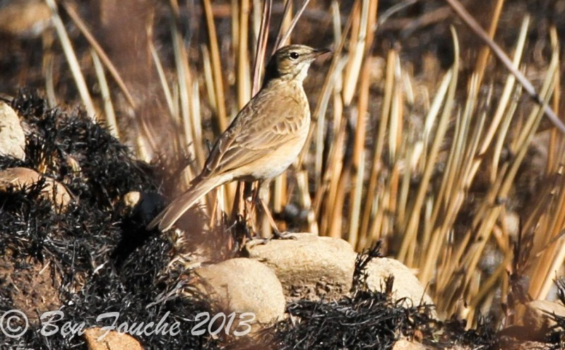 Long-billed Pipit, Nicholsonkoester, (Anthus similis)