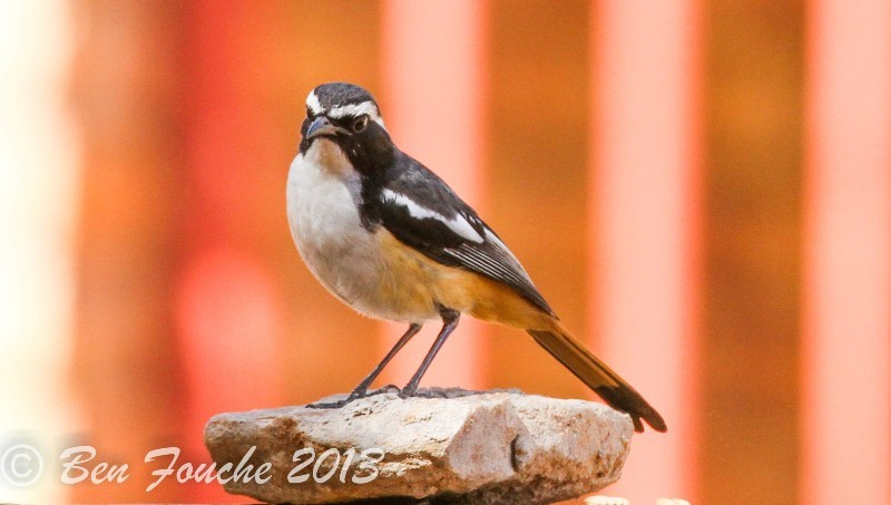 White-throated Robin-Chat, Witkeeljanfrederik, (Cossypha humeralis)