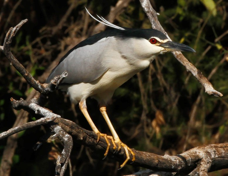 Black-crowned Night Heron, Gewone Nagreier, (Nycticorax nycticorax)