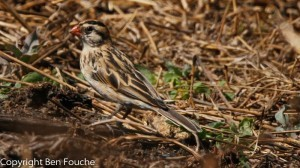 Pin-tailed Whydah female