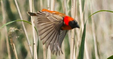 Southern Red Bishop, Rooivink, (Euplectes orix)