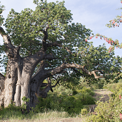 Largest Baobab tree in Kruger National Park