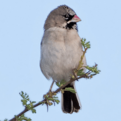 Scaly-feathered Finch, Baardmannetjie, (Sporopipes squamifrons)