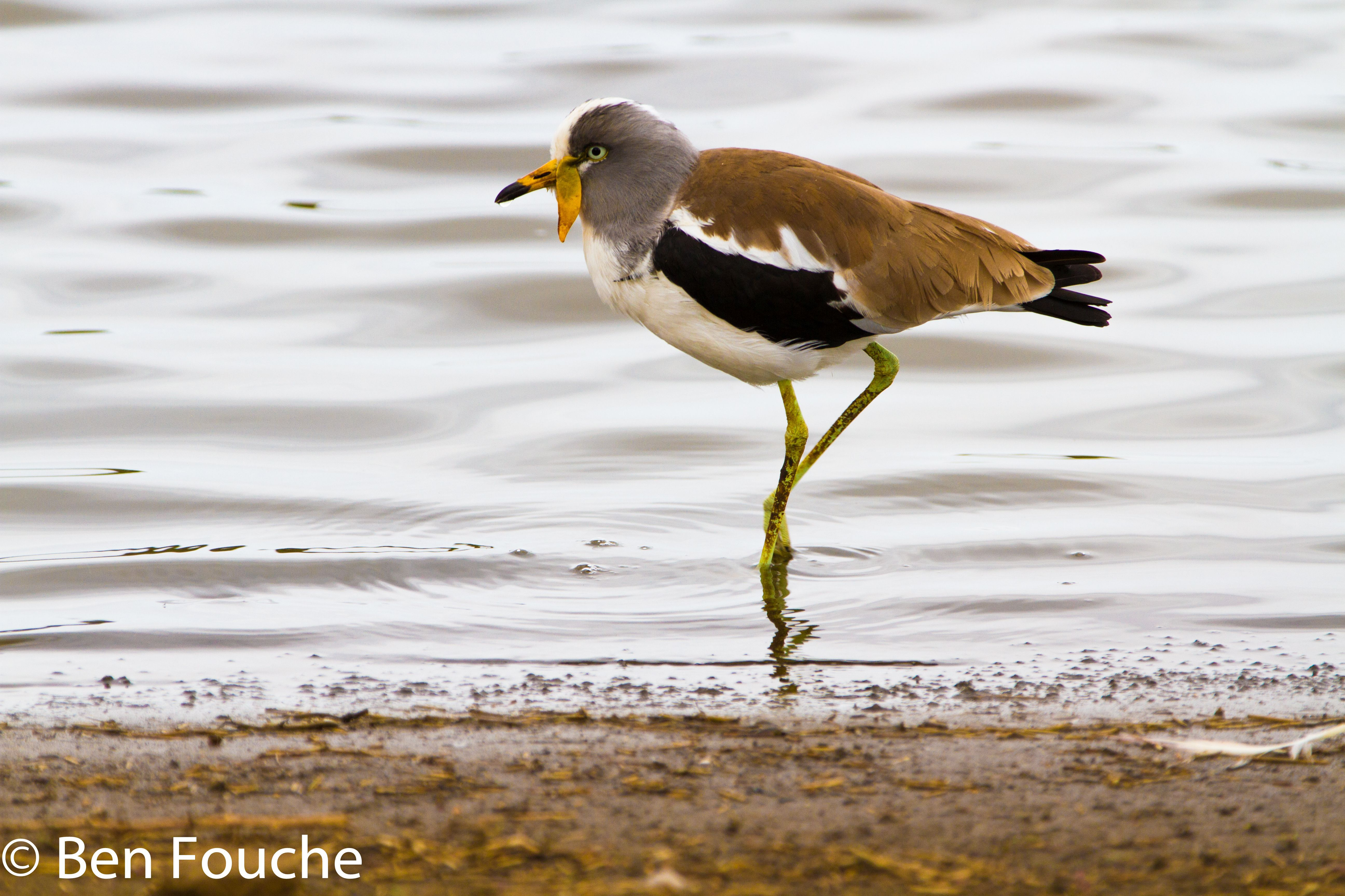 White-crowned Lapwing, Witkopkiewiet, (Vanellus albiceps)