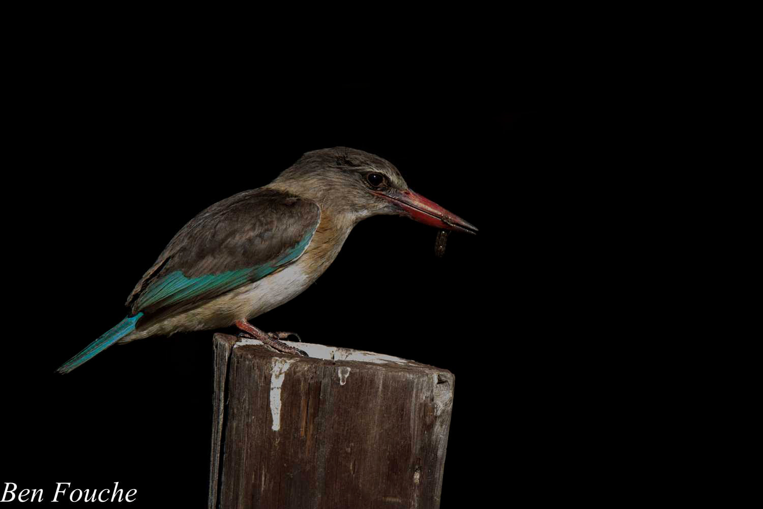 Brown hooded kingfisher - photo#34
