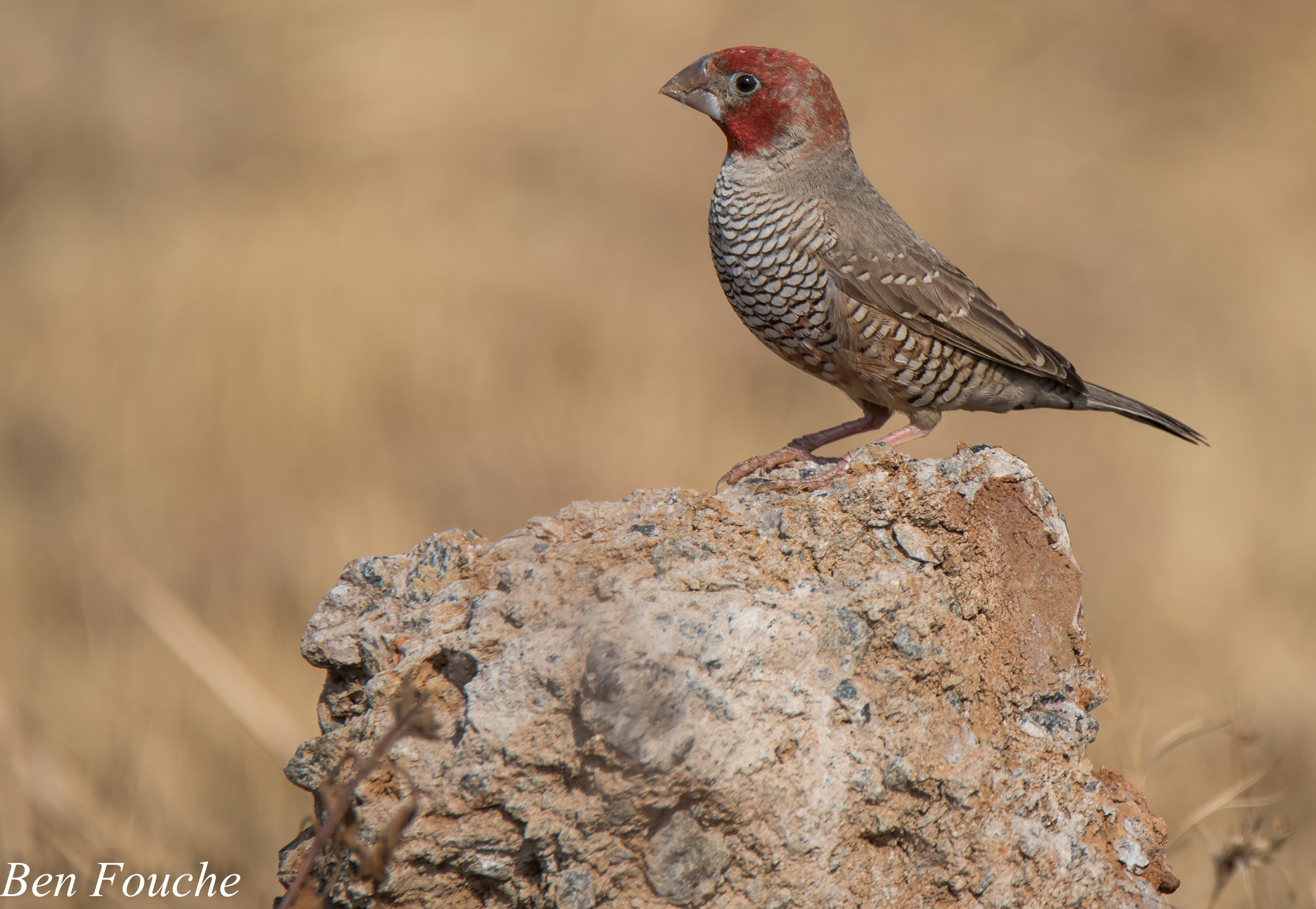 Red-headed Finch1 Centurion