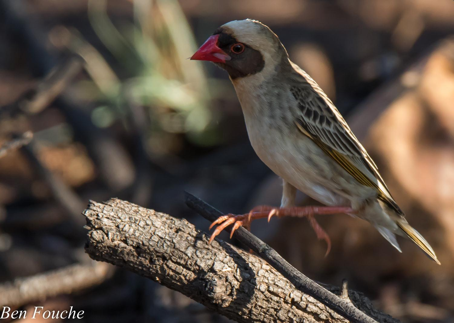 Red-billed Quelea