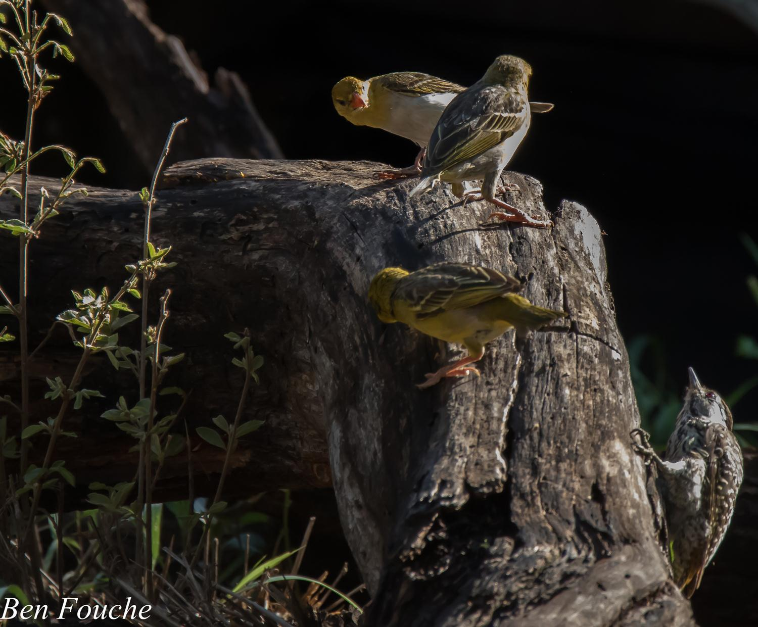 Weavers and Golden-Tailed Woodpecker