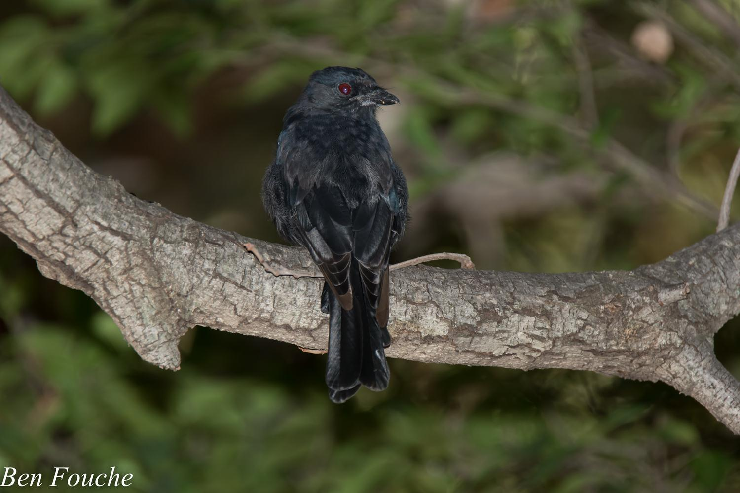 Fork-tailed Drongo, Mikstertbyvanger, (Dicrurus adsimilis)