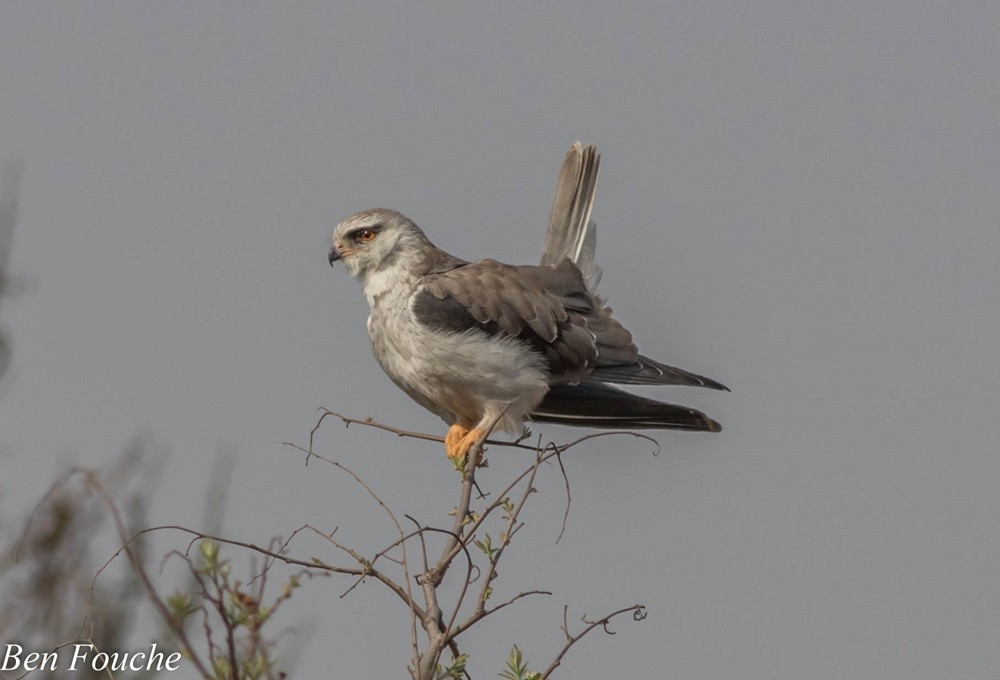 Black-shouldered Kite, Blouvalk, (Elanus caeruleus)