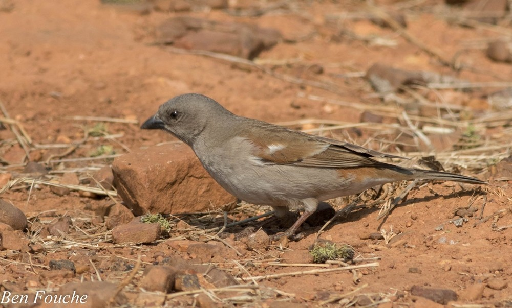 Southern Grey-headed Sparrow, Gryskopmossie, (Passer diffusus)