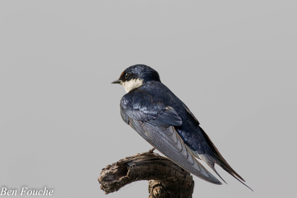White-throated Swallow, Witkeelswael, (Hirundo albigularis)