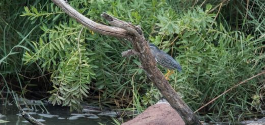 Green-backed Heron, Groenrugreier, (Butorides striata)