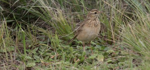 African Pipit, Gewone Koester, (Anthus cinnamomeus)