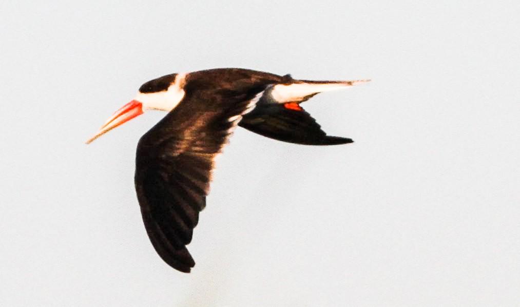 African Skimmer, Waterploeër, (Rynchops flavirostris)