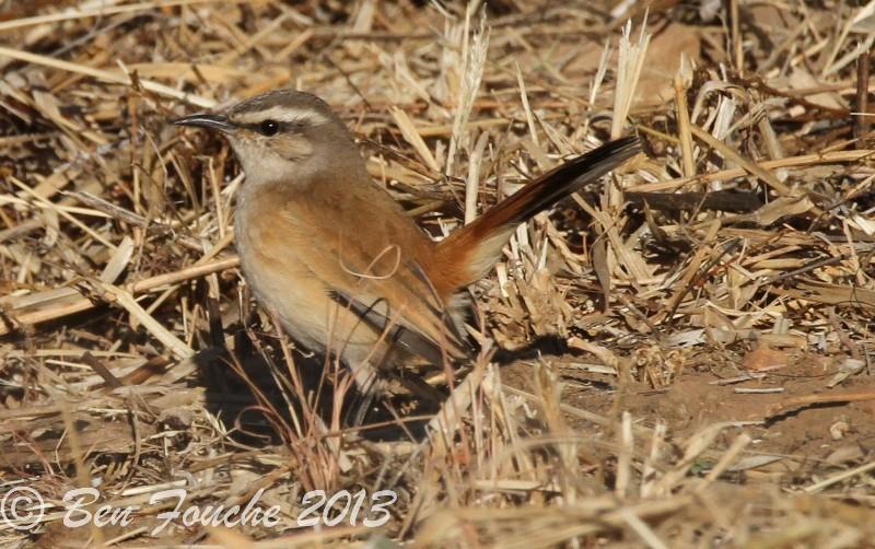 Kalahari Scrub Robin, Kalahariwipstert, (Erythropygia paena)
