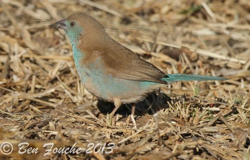 Blue Waxbill, Gewone Blousysie, (Uraeginthus angolensis)
