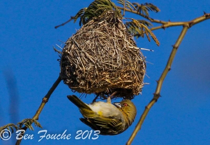 Southern Masked Weaver, Swartkeelgeelvink, (Ploceus velatus)
