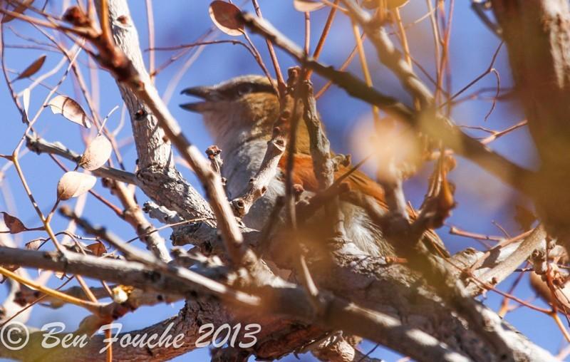 Black-crowned Tchagra, Swartkroontjagra, (Tchagra senegalus)