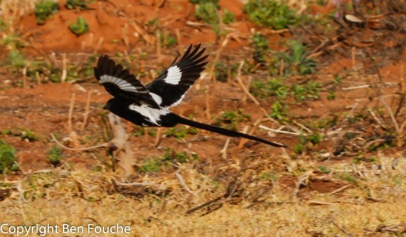 Magpie Shrike, Langstertlaksman, (Urolestes melanoleucus)