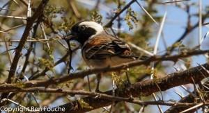 Cape Sparrow Male