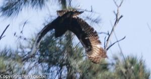 Long-creasted Eagle
