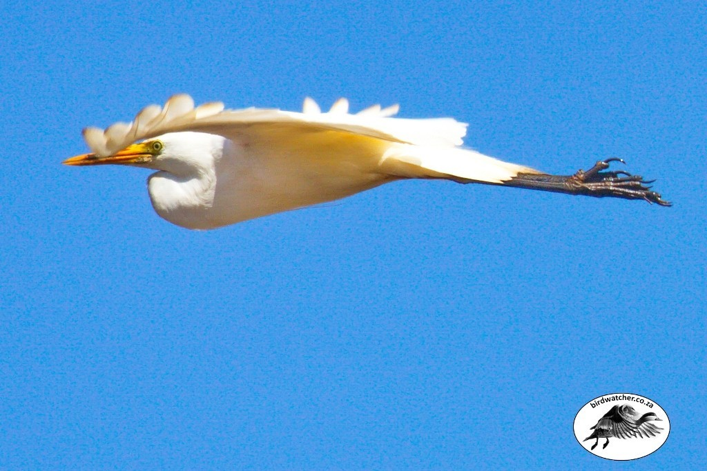 Yellow-billed Egret, Geelbekwitreier, (Egretta intermedia)