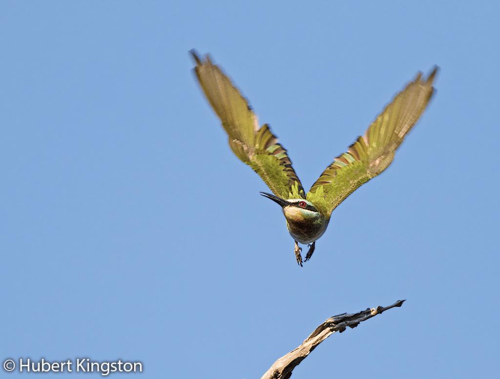 Blue-cheeked Bee-eater, Blouwangbyvreter, (Merops persicus)
