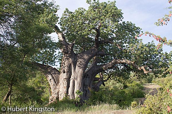 Largest Baobab tree in Kruger National Park