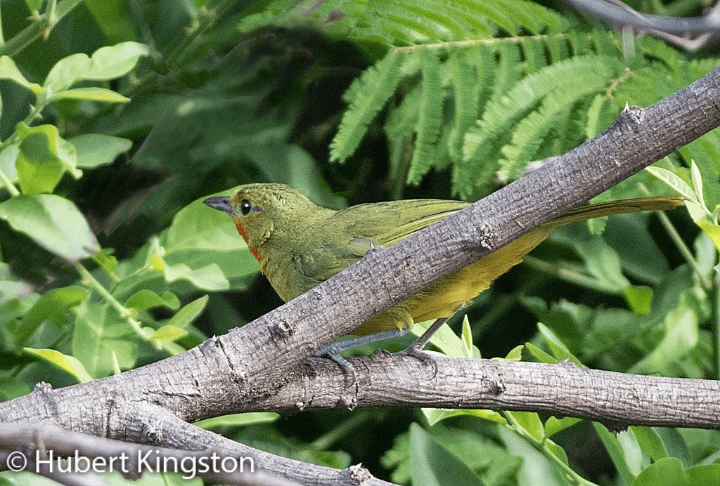 Gorgeous Bushshrike, Konkoit, (Telophorus viridis)
