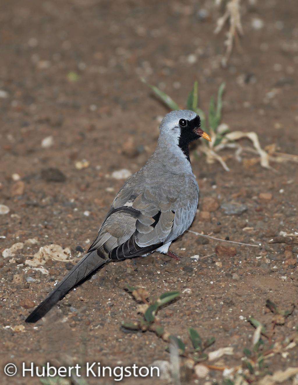 Namaqua Dove, Namakwaduifie, (Oena capensis)