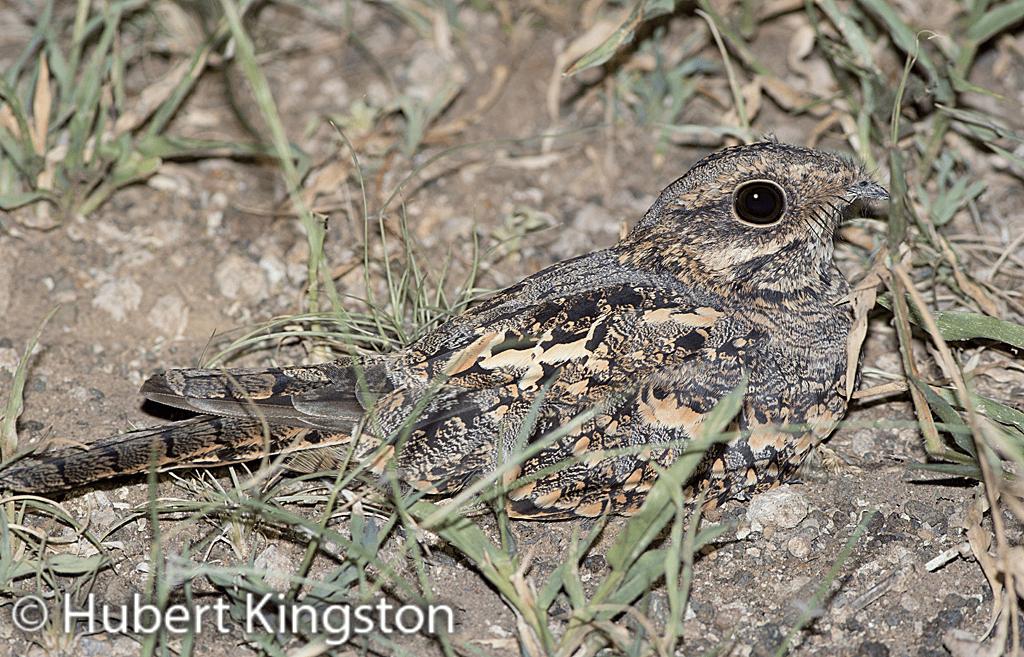 Square-tailed Nightjar, Laeveldnaguil, (Caprimulgus fossii)
