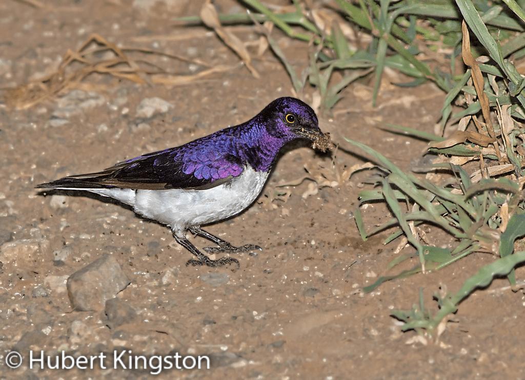Violet-backed Starling, Witborsspreeu, (Cinnyricinclus leucogaster)