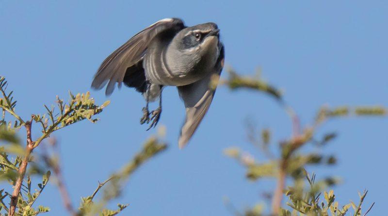 Fairy Flycatcher, Feevlieëvanger, (Stenostira scita)