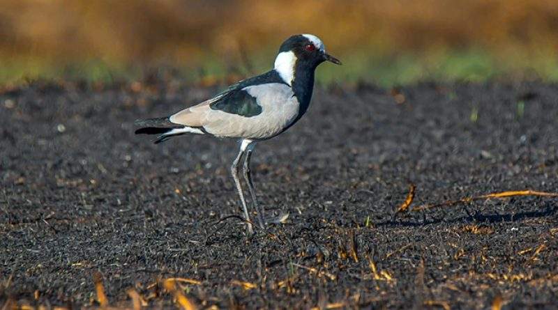 Blacksmith Lapwing, Bontkiewiet, (Vanellus armatus)