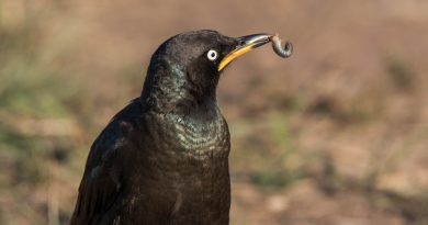 Pied Starling