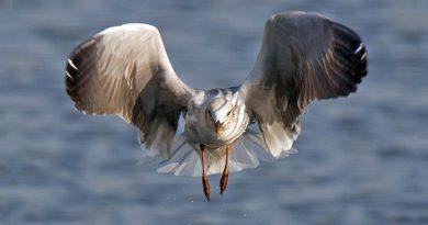 Grey-headed Gull, Gryskopmeeu, (Chroicocephalus cirrocephalus)