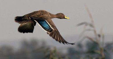 Yellow-billed Duck, Geelbekeend, (Anas undulata)