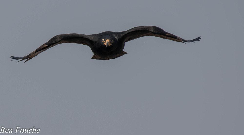 Verreaux's Eagle, Witkruisarend, (Aquila verreauxii)