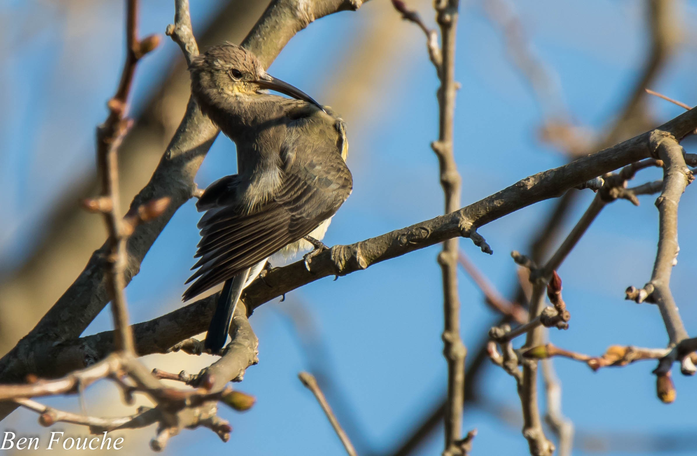 Greater Double-collared Sundbird Female