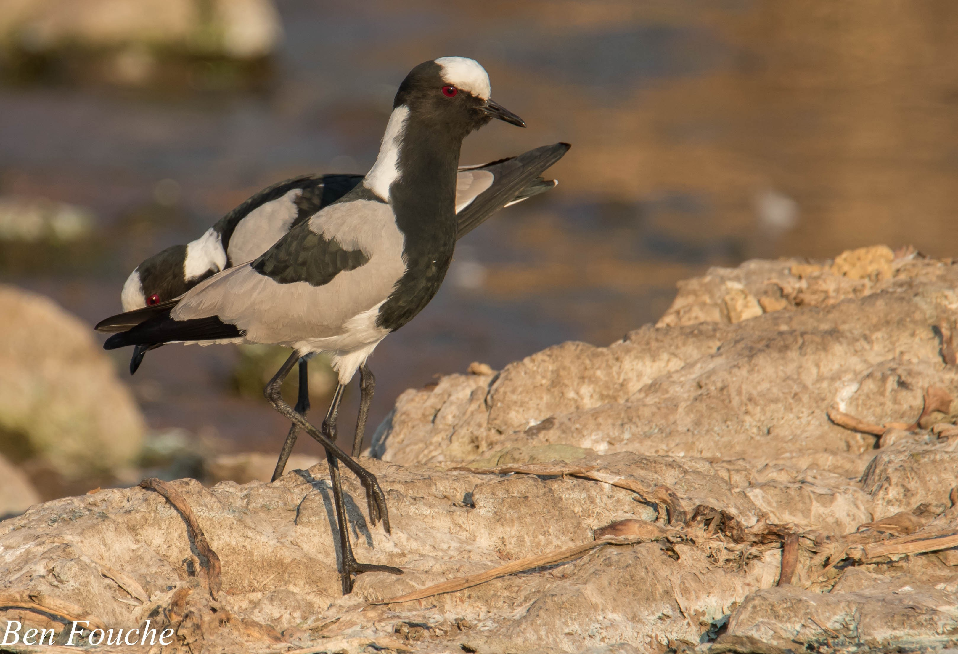 Blacksmith_Lapwing_Roodeplaat (1)
