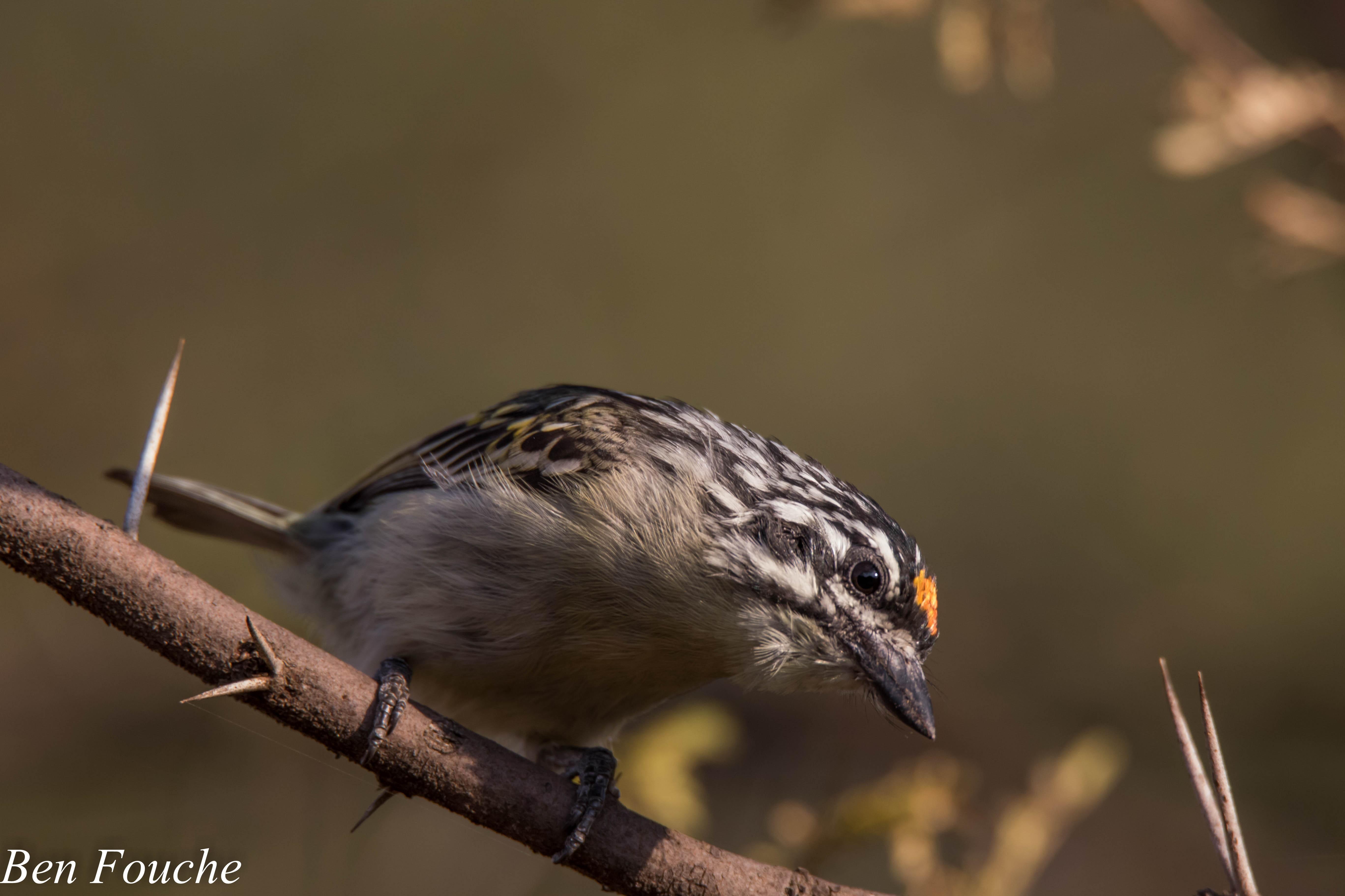 YellowFrontedTinkerbird_Roodeplaat
