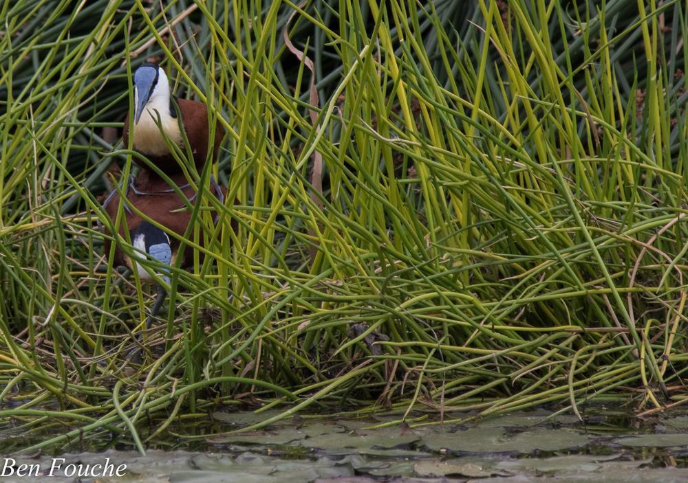 African Jacana, Grootlangtoon, (Actophilornis africanus)