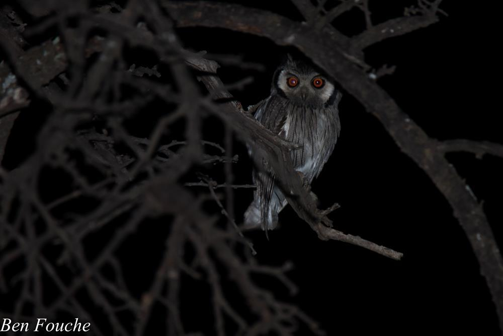 Southern White-faced Owl, Witwanguil, (Ptilopsis granti)