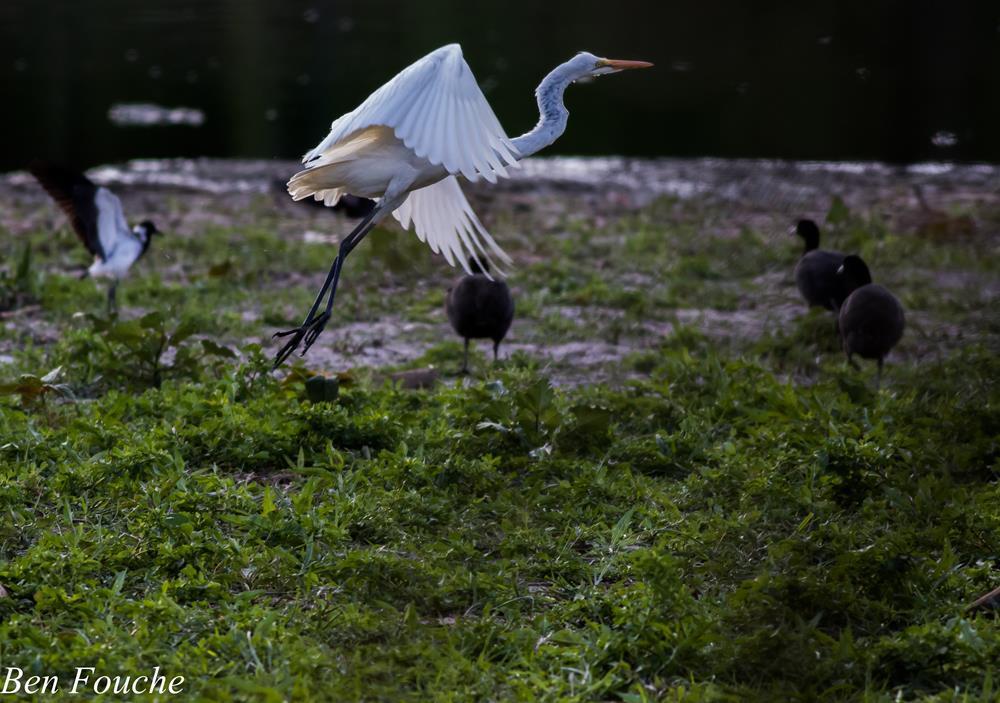 Great Egret, Grootwitreier, (Ardea alba)