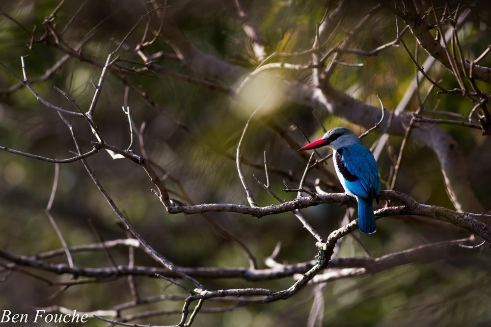Woodland Kingfisher, Bosveldvisvanger, (Halcyon senegalensis)