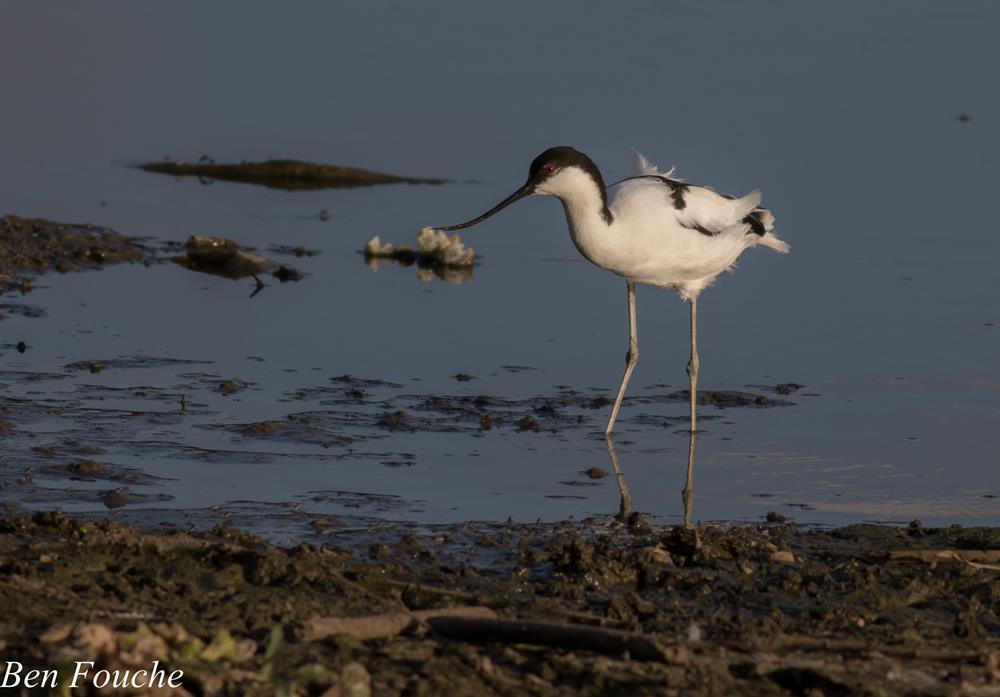 Pied Avocet, Bontelsie, (Recurvirostra avosetta)