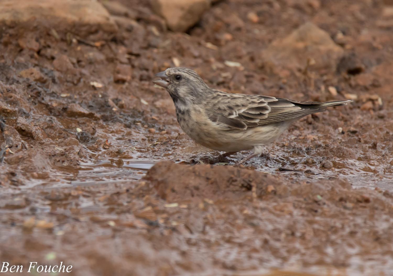 Black-throated Canary, Bergkanarie, (Crithagra atrogularis)